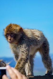 The monkeys are population controlled