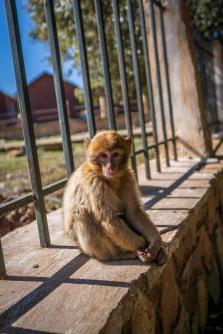 Maccaque monkeys