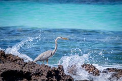 Ben is such a talented photographer - a truly amazing photo of a Great Blue Heron