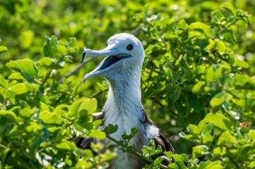 A juvenile Frigate Bird, what a cuite-pie
