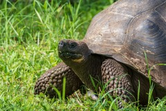 Dome Tortoise